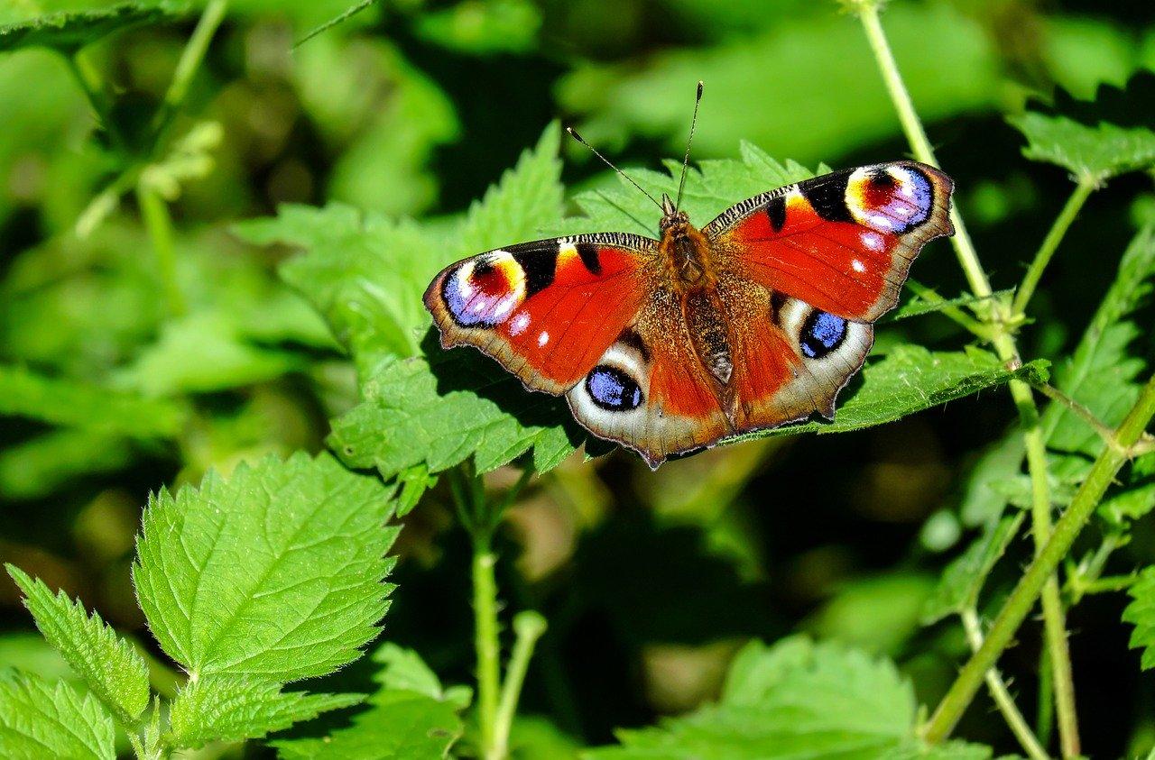 Vortragsankündigung – Schmetterlinge auf der Schwäbischen Alb